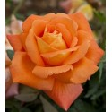 Rose LOUIS DE FUNES ® Meirestif
