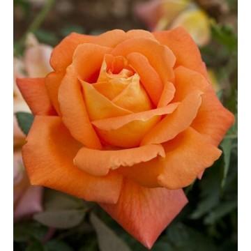 Rose LOUIS DE FUNES ®...
