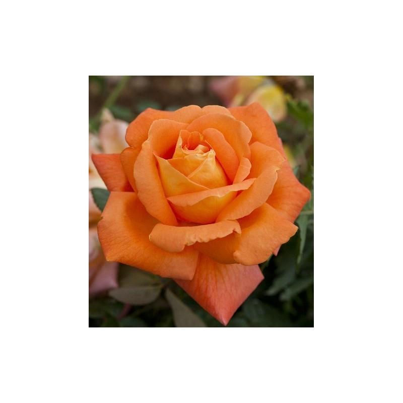 Rosa LOUIS DE FUNES ® Meirestif