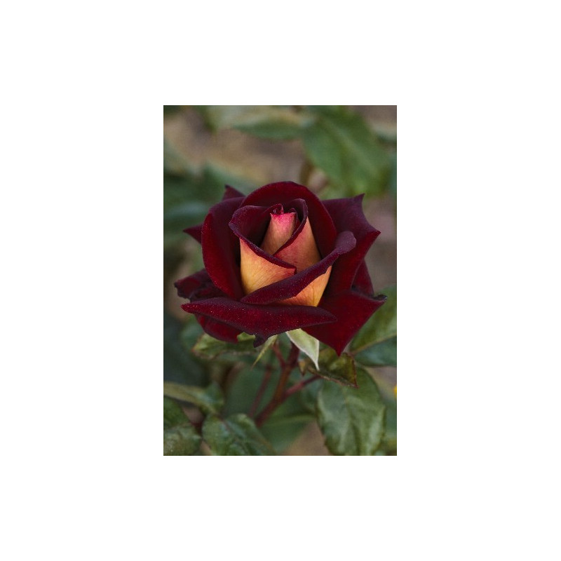 Rose EDDY MITCHELL ® Meirysett