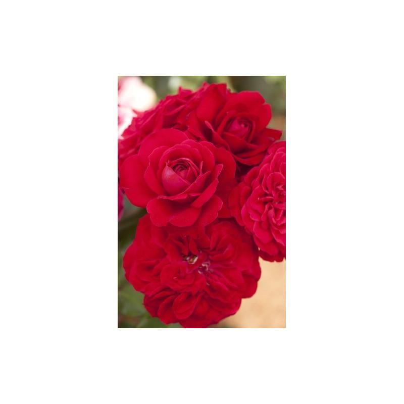 Rosa MONA LISA ® Meilyxir