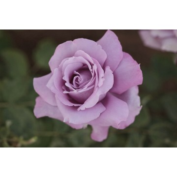 Rose CHARLES DE GAULLE ®...
