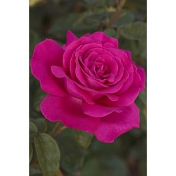 Rose SEXY PERFUMELLA ®...