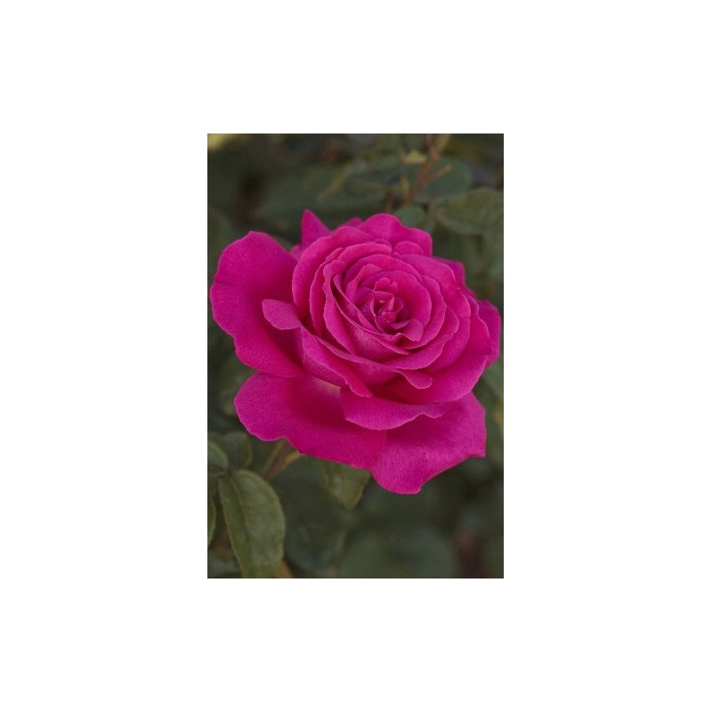 Rose SEXY PERFUMELLA ® Meimirtylus