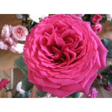 Rosa PARFUM DE HONFLEUR ®...