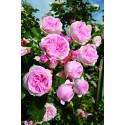 Rosa L'ALHAMBRA ® Tan97289