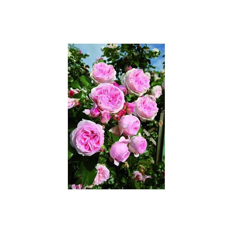 Rosier L'ALHAMBRA ® Tan97289
