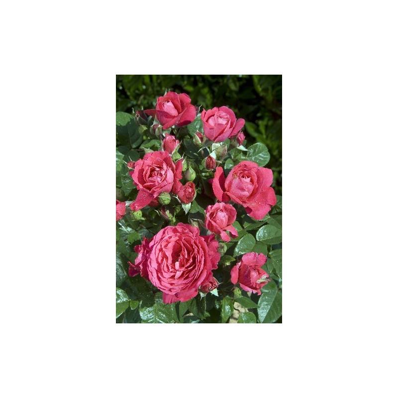 Rose AKAROA ® Mattanstill