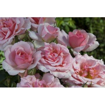 Rose COTE JARDIN ® Orapent