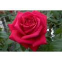 Rose MISTER LINCOLN