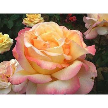 Rose MME A. MEILLAND