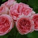 KIMONO rosa