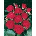 Rosa EUROPEANA