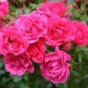 Rose STAMM 100-120 cm EMERA ® Noatraum