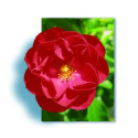 Arbusto de rosas Pequeña VARILLA de 70-80 cm de KADORA ® Noatraum