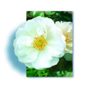 Rose bush Small ROD 70-80 cm OPALIA ® Noaschnee
