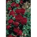 Arbusto de rosas Pequeña VARILLA de 70-80 cm de ROMA ® Joerger