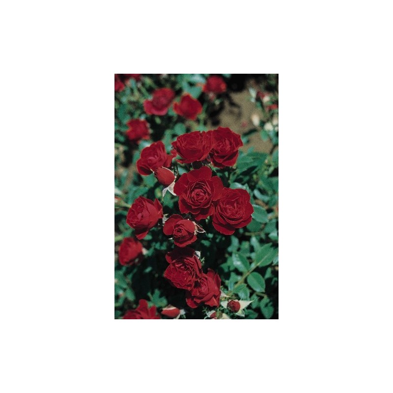Rose bush Small ROD 70-80 cm ROMA ® Joerger