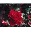 Rose STIEL 100 cm INGRID BERGMAN ® Poulman