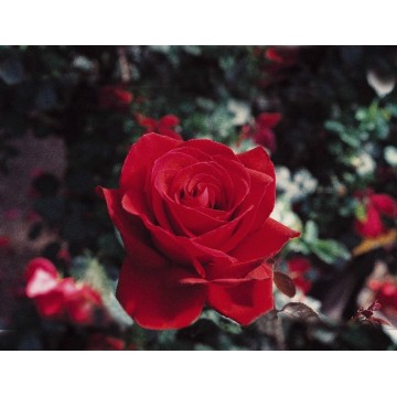 Rose STEM 100 cm INGRID...