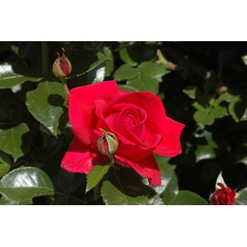 Rose STIEL 100 cm LE GRAND...
