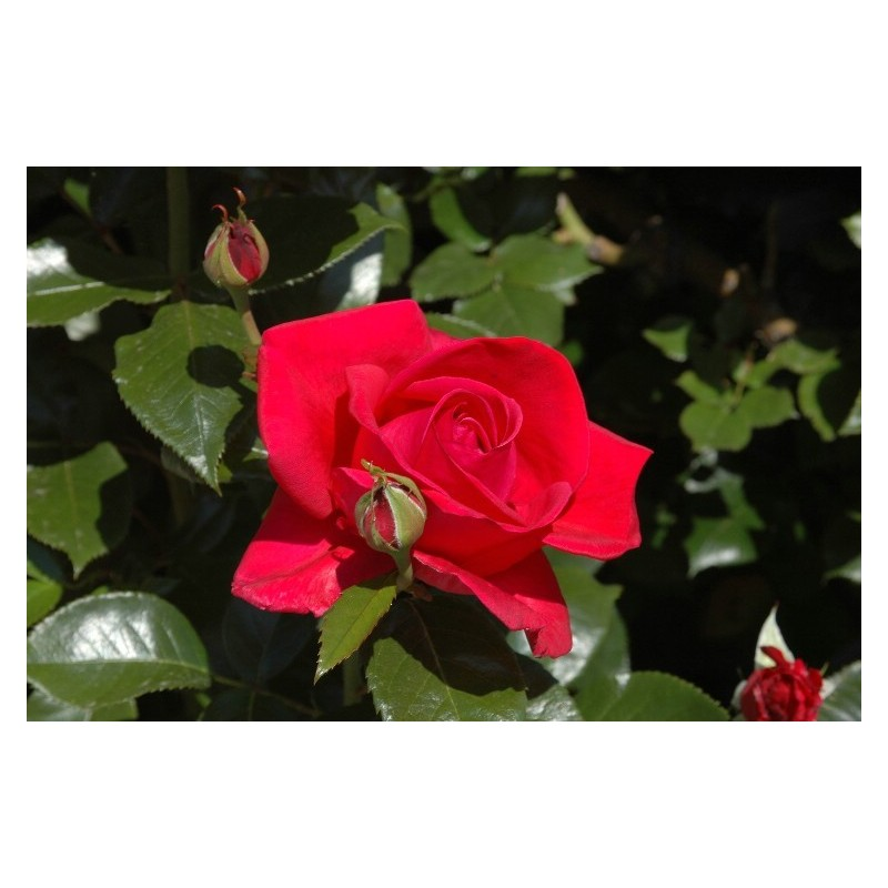TALLO de rosal de 100 cm LE GRAND HUIT® Adharman