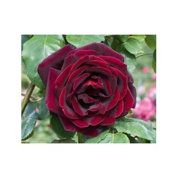 Rosa PAPA MEILLAND ® Meicesar