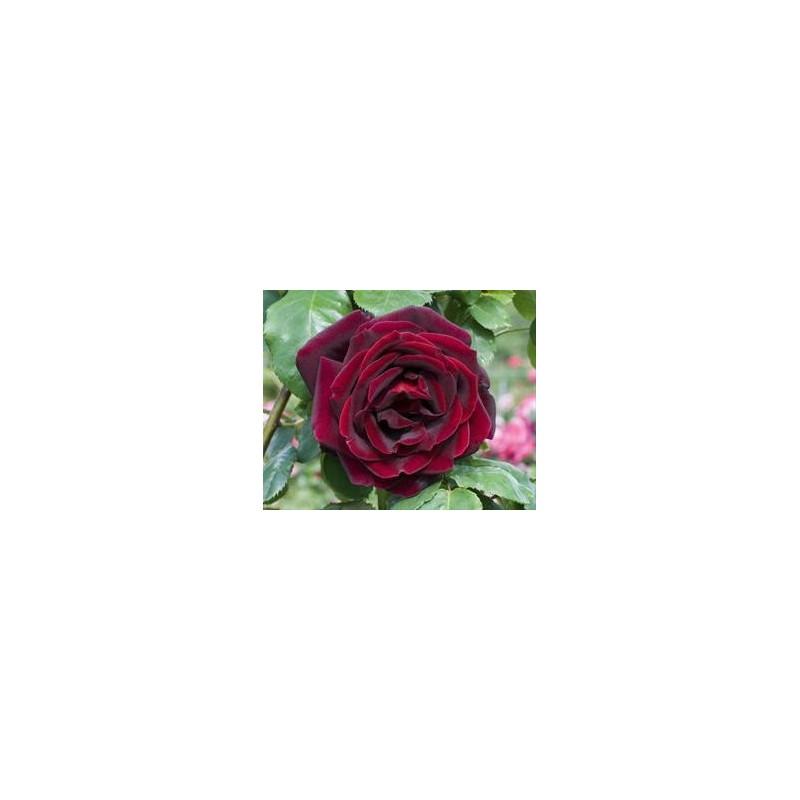 Rosa PAPA MEILLAND ® Meicesar