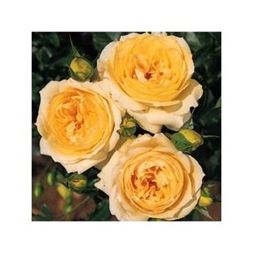 TALLO de rosal de 100 cm de TCHAIKOVSKI ®