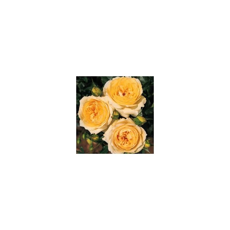 Rose STEM 100 cm TCHAIKOVSKI ®