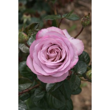 Rose STEM 100 cm BLUE GIRL...