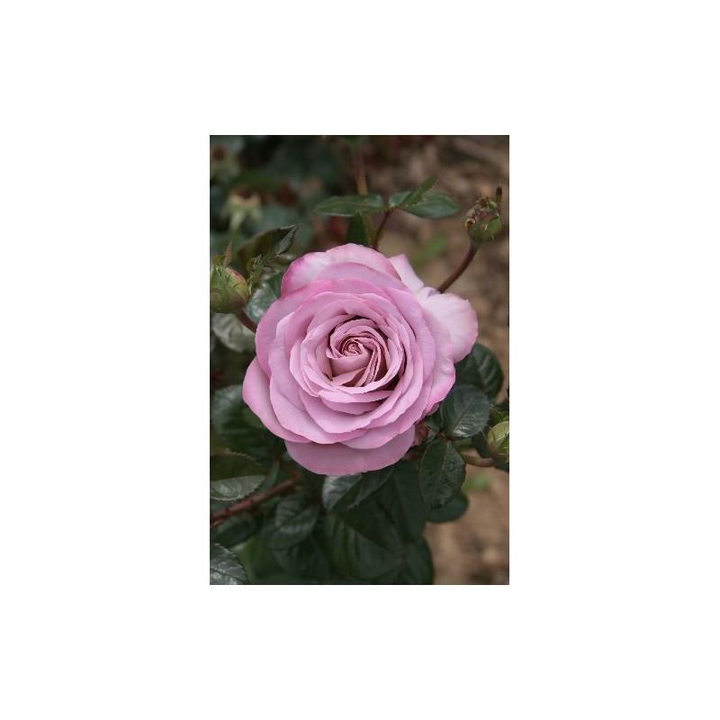 Rose STEM 100 cm BLUE GIRL ® Sautari