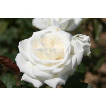 Rose ANNAPURNA ® Dorblan