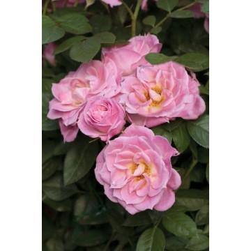 Rosa BELLE SYMPHONIE ®...