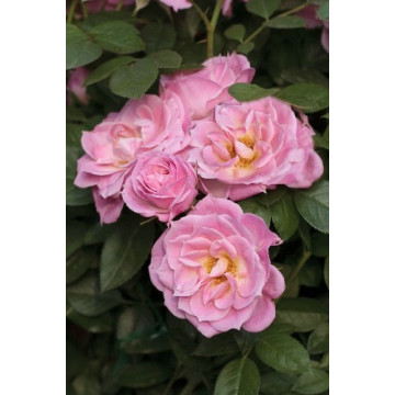 Rose BELLE SYMPHONIE ®...