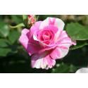 Rosa BERLINGOT ® Dorminesar