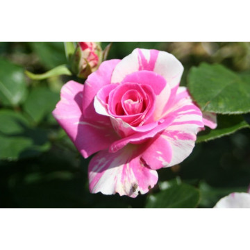 Rose BERLINGOT ® Dorminesar