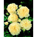 Rosier CANTERBURY Gpt ® Harfable