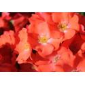 Rosa ISALIA ® Noat1804