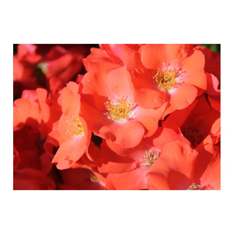 Rose ISALIA ® Noat1804