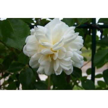 Rose ALBERIC BARBIER