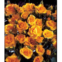 Rose GOLD COTTAGE ® Dicentice