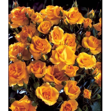Rosier GOLD COTTAGE ®...