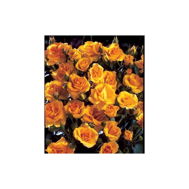 Rose COTTAGE ® Dicentice