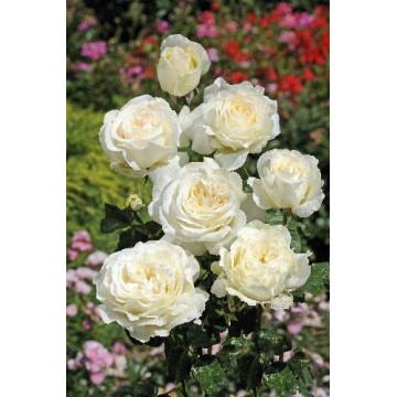 Rosier IRINA BONDARENKO ® Tan 07117