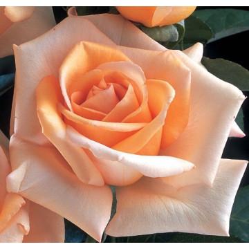 Rosa JOLIE MOME ® Fryxotic