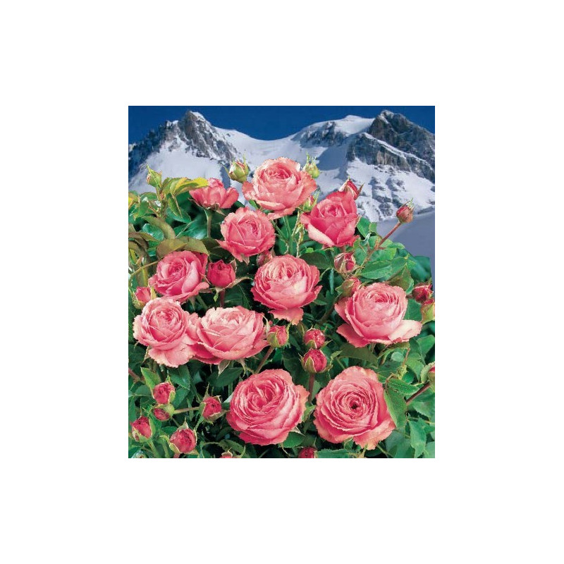Rose LA VANOISE National Park® Korhokhel