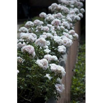 Rosa LOVELY SYMPHONIE ®...