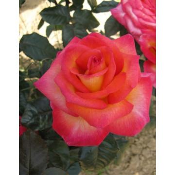 Rose MICHEL DESJOYEAUX ®...