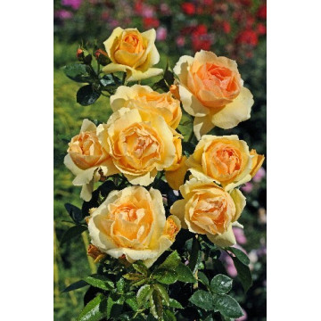 Rose MYTHIQUE ® Tan 04603